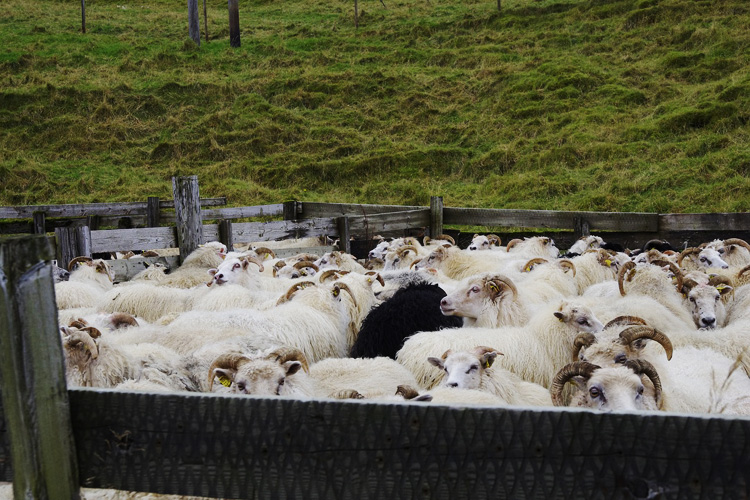 Schafe Island Strickreise