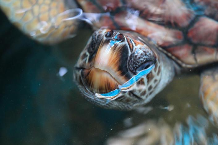 Meeresschildkröte auf Sri Lanka
