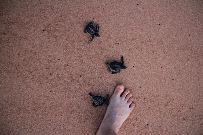Am Strand von Sri Lanka, Schildkröten retten