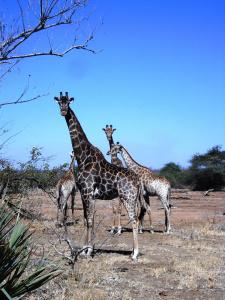 Giraffen Krüger Nationalpark Südafrika