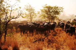 Krüger Nationalpark Südafrika Büffelherde