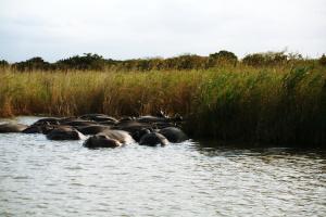 Nilpferde Südafrika