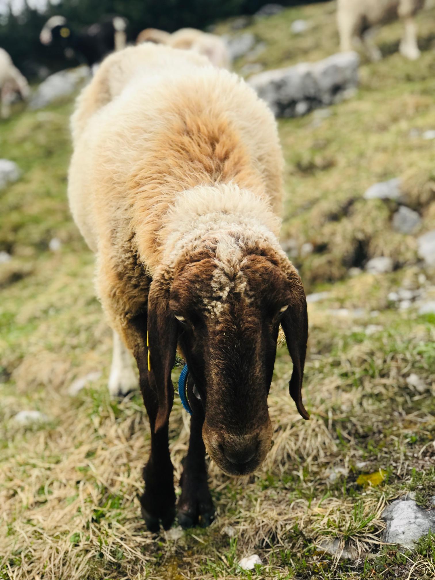 Krippenstein Schafe